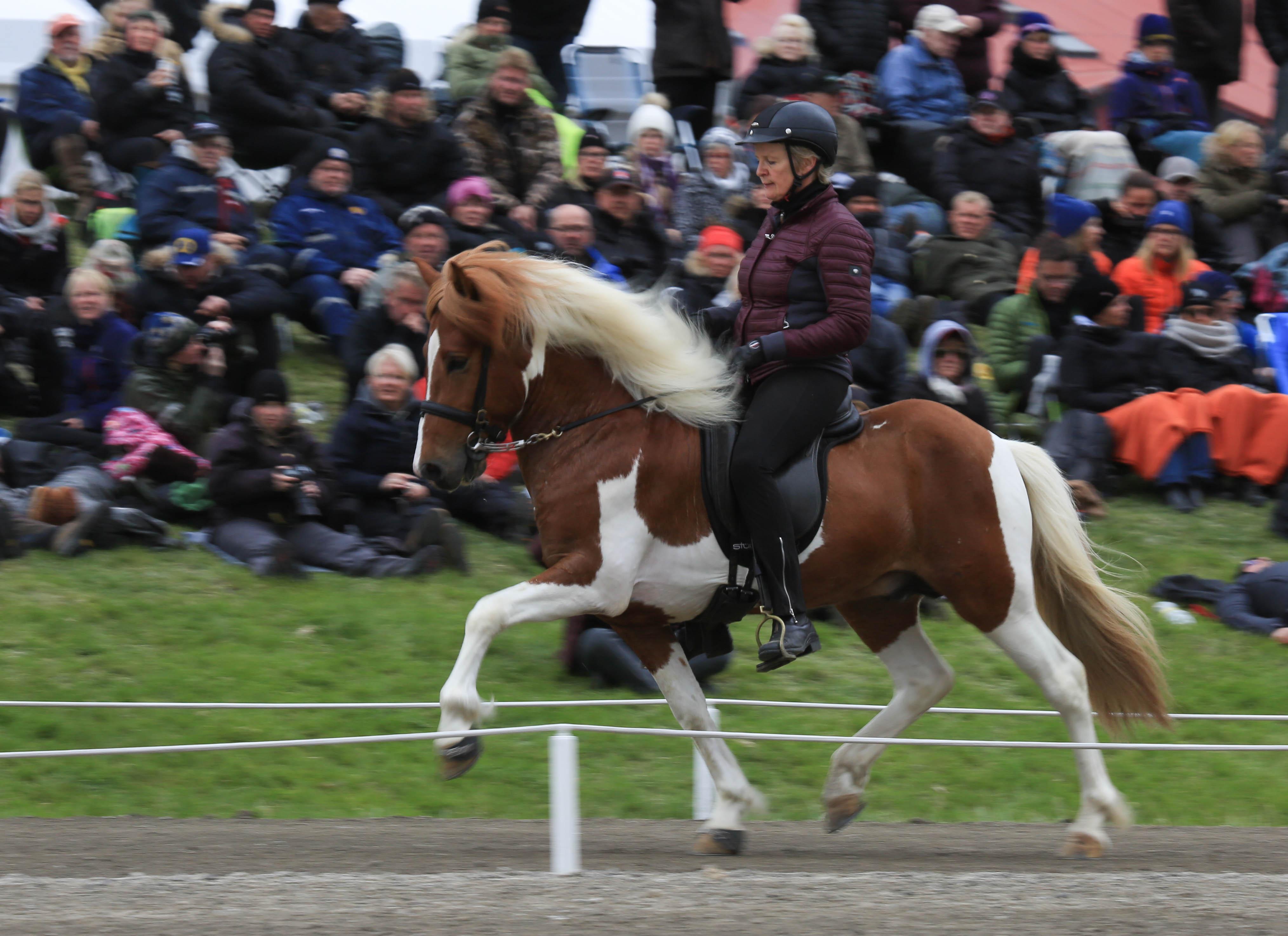 Fyrgångare med 8.47 i ridegenskaper! Álfgrímur frá Syðri-Gegnishólum Foto: Yvonne Benzian/ishestnews.se