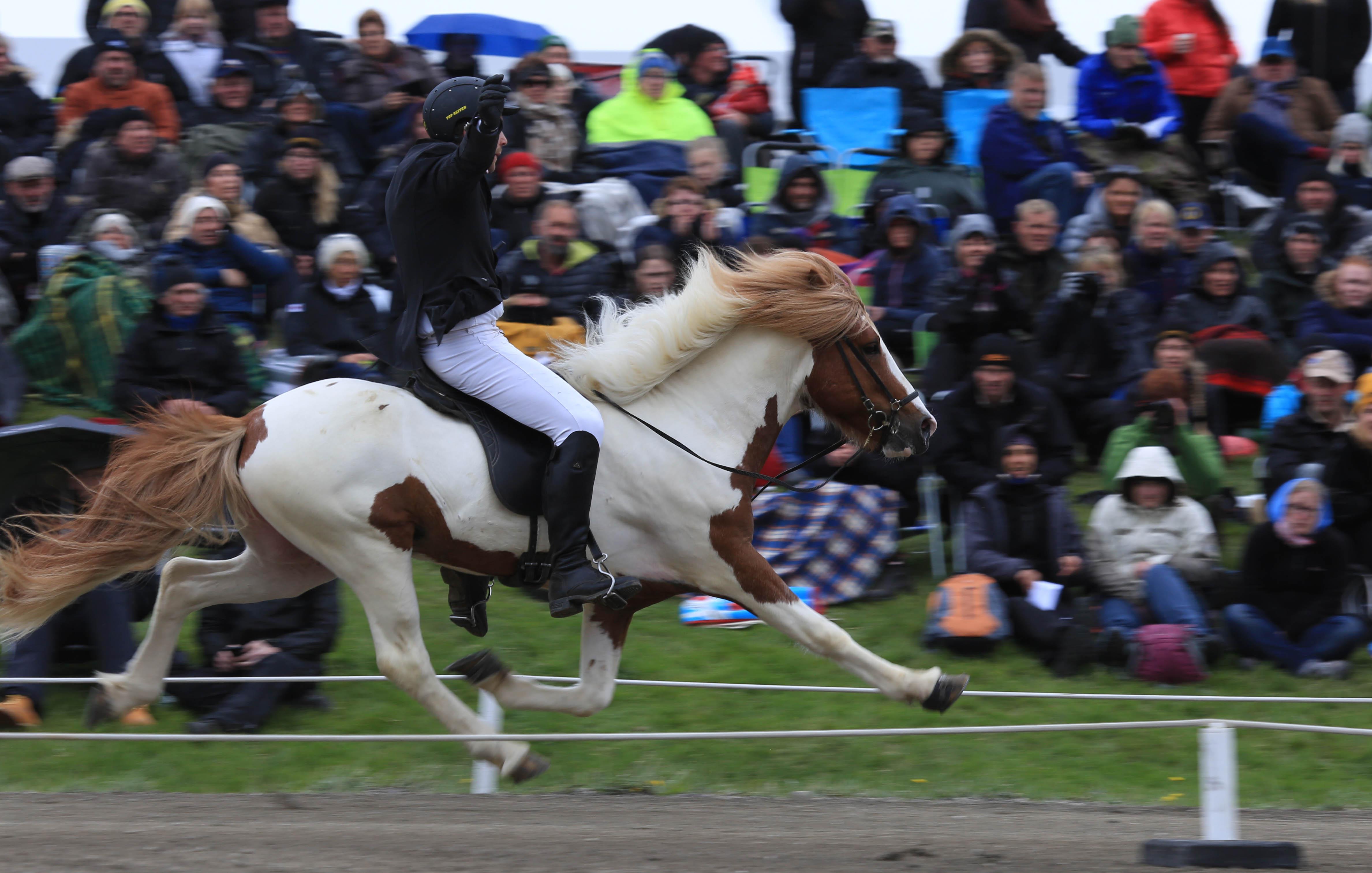Upp med händerna! Hafsteinn frá Vakurstöðum visar att han kan gå i pass utan att Teitur Árnason håller i. Foto: Yvonne Benzian/ishestnews.se
