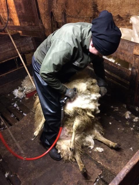 När den gängse fårklipparen blev sjuk så klippte Sara fåren själv.
