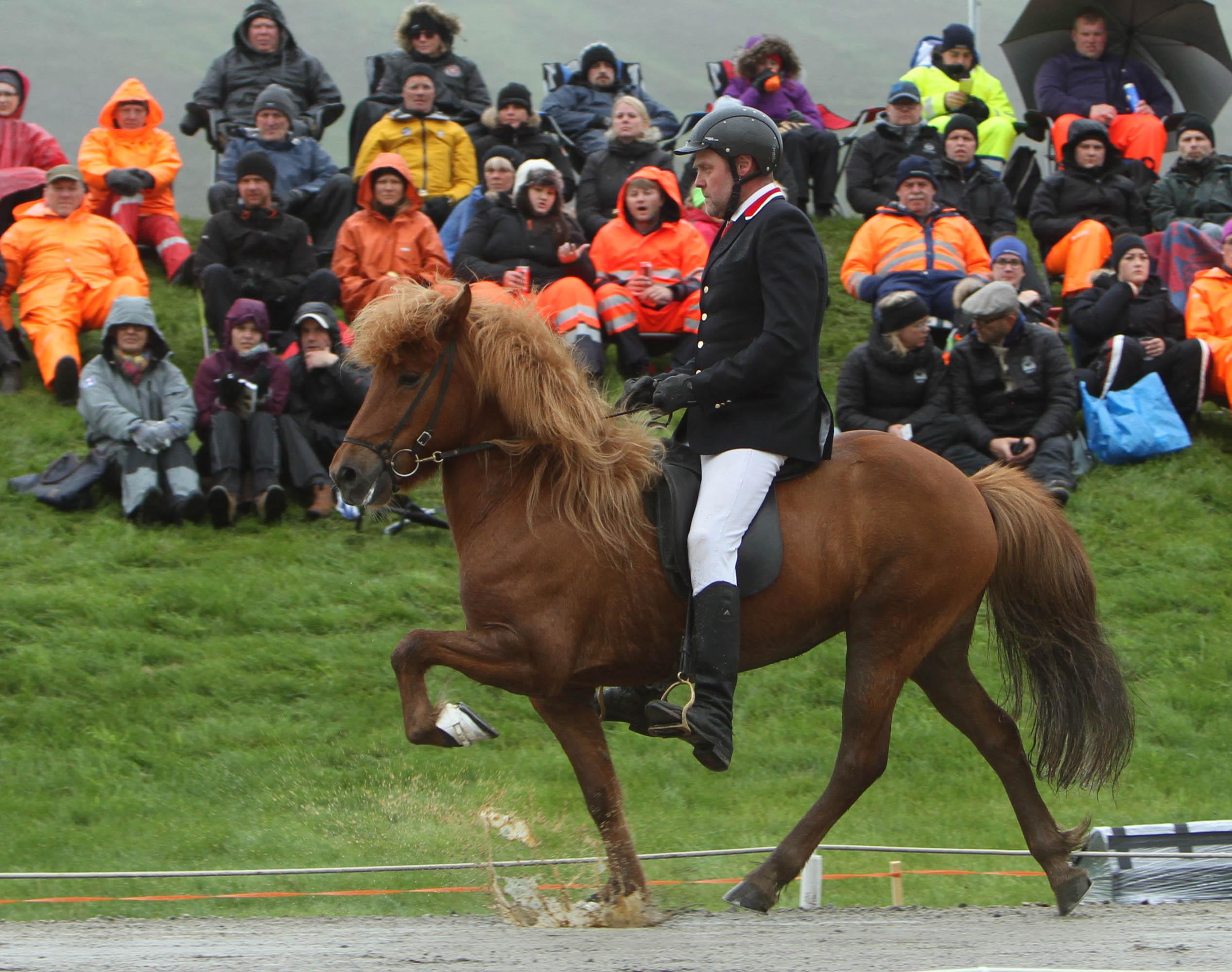 Garpur frá Skúfslaek visar hur man töltar i en regnpöl. Sigurdur Sigurdarson rider. Foto: Karin Cederman/ishestnews.se